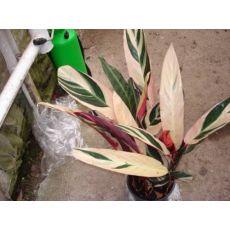 Alacalı Kalatya Calathea Triostar 20-30 Cm