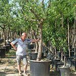Büyük Yaşlı Meyve Ağaçları