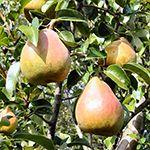 Meyve Verir Haldeki Meyve Fidanları