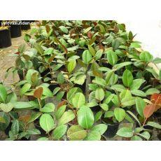 Kauçuk Bitkisi Benjamina Elastica 30-40 Cm