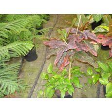 Kraton Codıaeum Croton Petra Excellent 80 Cm