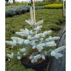 Mavi Ladin Fidanı Ağacı Picea Pungens Hopsii 70-80 Cm