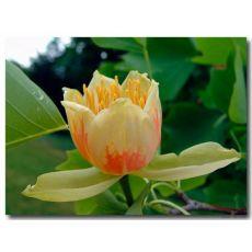 Amerikan Lale Ağacı Liriodendron Tulipifera 400 Cm