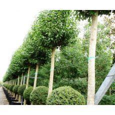 Ligüstrüm ağaç Lüküstürüm ligustrum japonicum