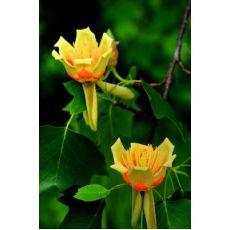 Amerikan Lale Ağacı Liriodendron Tulipifera 100-120 Cm