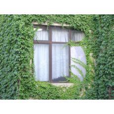 Sarmaşık Yeşil Yapraklı 40-60 Cm