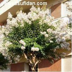 Oya Fidanı Ağacı Lagerstromia İndica Beyaz Çiçekli 10-12 çap 200-220 cm