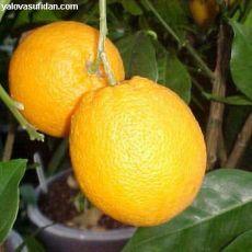 Portakal Fidanı  140-160 Cm