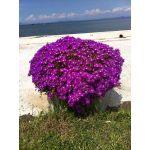 Çok Yıllık ve Yayılıcı Çiçekler Tıklayınız