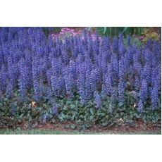 Ajuga Mayasıl Otu Çiçeği Yeşil Yapraklı Reptans Ajuka 40 Adet Fiyatımızdır
