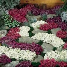 Alisyum Çiçeği Kuduz Otu Alyssum 45 Adet Fiyatımızdır