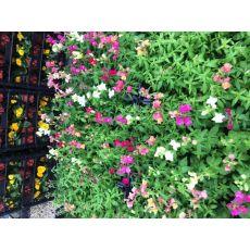 Aslanağzı Çiçeği Antirrhinum Majus 45 adet Fiyatıdır