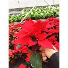 Atatürk Çiçeği Kırmızı poinsettia 15-20 Cm