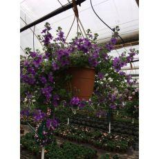 Bakopa Çiçeği Bacopa Askılı Saksıda