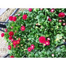 Bellis Çiçeği Şeker Tabağı Çayır Papatyası 45 Adet Fiyatımızdır