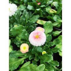 Bellis Çiçeği Şeker Tabağı Çayır Papatyası 1 Saksı Fiyatımızdır