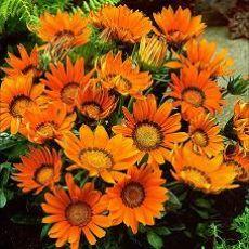Gazanya Çiçeği Gazania Kasada 45 Adet Fiyatımızdır