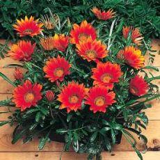 Gazanya Çiçeği Gazania Saksıda 10-15 Cm