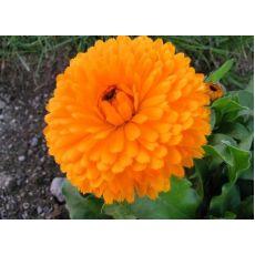 Kadife Çiçeği Portakal  Çiçekli 45 Adet Fiyatımızdır