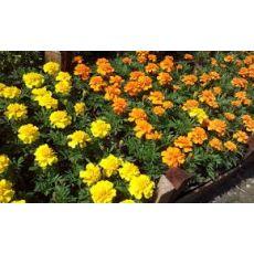 Kadife Çiçeği Sarı Çiçekli 45 Adet Fiyatımızdır