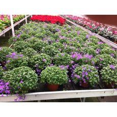 Kampanula Çiçeği Maviş Çiçeği Çan çiçeği Yerli Campanula