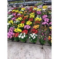 Kasımpatı Krizantem Çiçeği Chrysanthemum Krizantem 20-25 Çapı