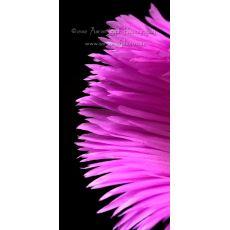 Kazayağı Çiçeği Fidanı Carpobrotus Acinaciformis 45 Adet Fiyatımızdır