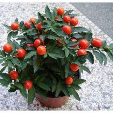 Kudüs Kirazı Çiçeği İthal Solanum Pseudocapsicum 20-25 Cm Çapı