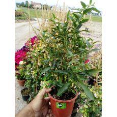 Kudüs Kirazı Çiçeği Solanum Pseudocapsicum Beyaz Meyveli