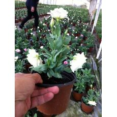 Lisyantus Çiçeği Lisianthus 20-25 Cm