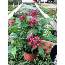 Pantens Çiçeği 20-30 Cm