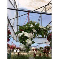 Rozet Çiçeği Vinka Pervane Çiçeği Catharanthus Roseus Askılı Saksıda