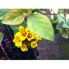 Sarkan Sarıkız Çiçeği Askılı Saksıda