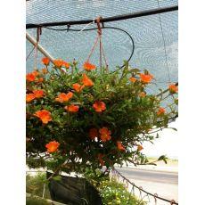 Semizotu Yapraklı Yubi Çiçeği Portakal Çiçekli Portulaca yubi
