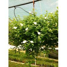Semizotu Yapraklı Yubi Çiçeği Beyaz Çiçekli Portulaca yubi