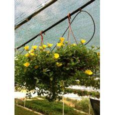 Semizotu Yapraklı Yubi Çiçeği Sarı Çiçekli Portulaca yubi