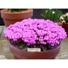 Sıklamen Siklamen Çiçeği Küçük Çiçekli Cyclamen