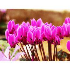 Sıklamen Siklamen Çiçeği Büyük Çiçekli Cyclamen 10-15 Cm Çapı