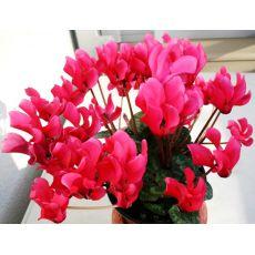 Sıklamen Siklamen Çiçeği Büyük Çiçekli Cyclamen