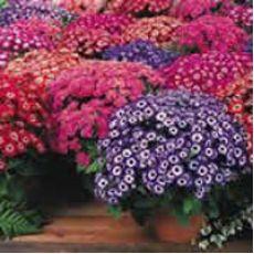 Sindrella Çiçeği Sineralya Çiçeği 25-30 Cm