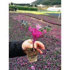 Süs Lahanası Kasada 48 Adet Fiyatımızdır Brassica oleracea acephala