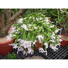 Yılbaşı Çiçeği Yılbaşı Kaktüsü Noel Çiçeği Schlumbergera 5-8 Cm