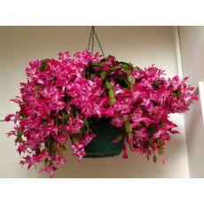 Yılbaşı Çiçeği Yılbaşı Kaktüsü Noel Çiçeği İthal Schlumbergera