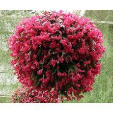 Yılbaşı Çiçeği Yılbaşı Kaktüsü Noel Çiçeği Schlumbergera