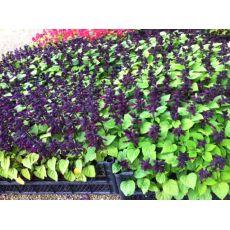 Ateş Çiçeği Bordo Çiçekli Salvia Splendens 45 Adet Fiyatımızdır