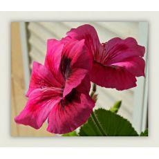 Ceylan Gözü Çiçeği 20-25 Cm