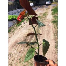 Çilli Begonya Çiçeği 20-30 Cm