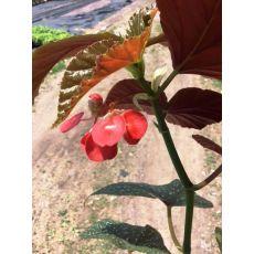 Çilli Begonya Çiçeği Saksıda