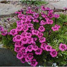 Çim Karanfili Alp Karanfili Dianthus Alpinus