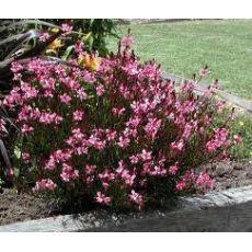 Gavura Çiçeği Gaura Lindheimeri 25-35 Cm